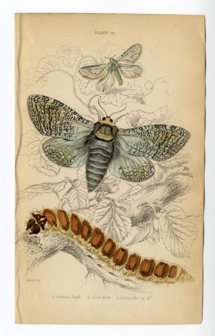 1836 MOTHS JARDINES Antique Print ORANGE SWIFT Goat Moth CATERPILLAR Engraved by William Lizars HAND COLOUR